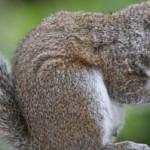 """""""Io sto con gli scoiattoli"""". La campagna per gli scoiattoli grigi"""