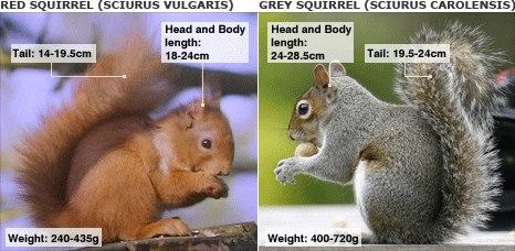 scoiattolo grigio lav