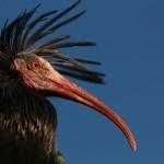 L'Ibis eremita torna in Europa con il Progetto Life+