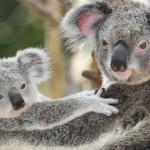 ACTION! Petizione per i koala uccisi dalle macchine disboscatrici