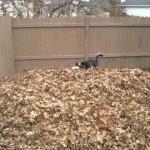 Siberian husky impazzisce di gioia con le foglie morte [Video]