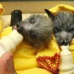 Piccoli pipistrelli in una nursery [Video]