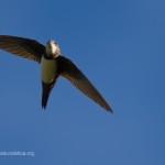 Il lungo volo del rondone maggiore: 200 giorni senza sosta
