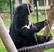Un orso della luna liberato da una fattoria delle abile gioca su un'altalena al centro recupero di Animals Asia
