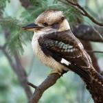 Webcam su un nido di Kookaburra in Australia
