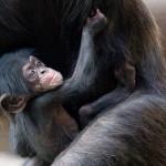 L'abbraccio di mamma scimpanzè [Video]