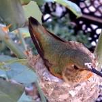Webcam su un nido di colibrì
