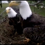Webcam sulle aquile di mare testabianca Harriet ed M15