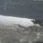 Webcam sui pinguini dell'Antartico (Penguincam)