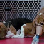 Sperimentazione animale. La mobilitazione continua