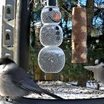 Webcam su una mangiatoia per uccelli in Ontario, Canada