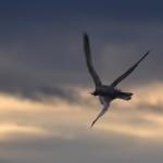 Falco pellegrino preda un gabbiano. [Fotosequenza]