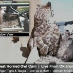 Webcam su un nido di gufi della Virginia a Oklahoma City