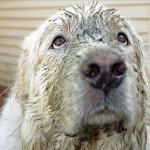 """Prévert: """"Fate entrare il cane coperto di fango…"""""""