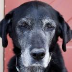 Adotta un cane anziano e riempiti il cuore