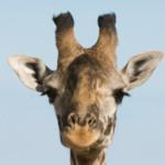 Esecuzione-spettacolo di una giraffa allo zoo di Copenaghen