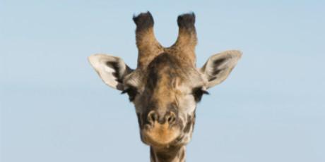 giraffa marius
