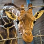 In Danimarca un'altra giraffa rischia di essere uccisa