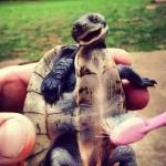 Le tartarughe sentono il solletico [Video]