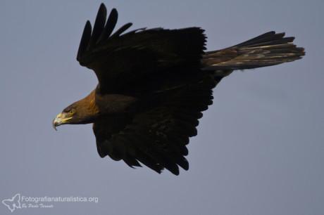 Aquila reale (Foto Paolo Taranto)