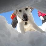 Gli angeli della montagna: i cani da valanga