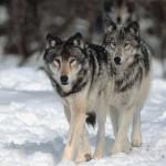 ACTION! Petizione per fermare la caccia al lupo