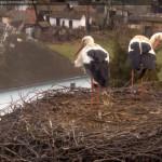 Webcam su un nido di cicogne bianche in Ungheria (Nagyhalász)