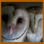 Webcam su un nido di barbagianni (Owl Ch.)