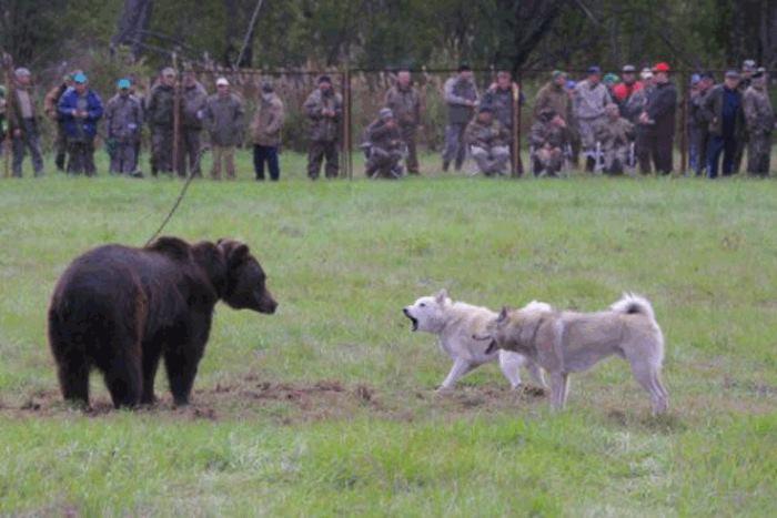 Action No Ai Combattimenti Tra Orsi E Cani In Russia Youanimalit