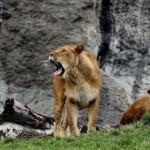 Abbattuti 4 leoni allo zoo-mattatoio di Copenaghen