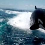 Orche marine all'inseguimento di un motoscafo [Video]