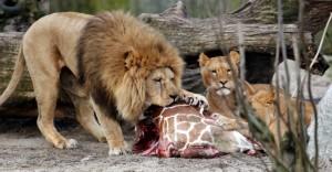 Marius dato in pasto ai leoni dopo esser stato ucciso