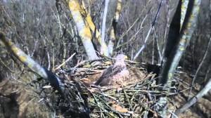 Un'immagine del nido monitorato dalla webcam