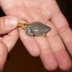 Bimbo scopre una nuova rana in Colombia