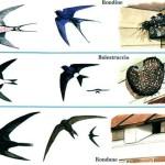 Rondini, rondoni e balestrucci: come distinguerli