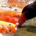 Cigni che imboccano pesci rossi [Video]