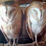 Webcam su barbagianni in Texas (BarnOwl Box)