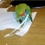Pappagallo si applica extension di carta [Video]
