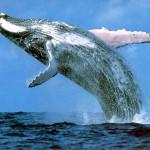La caccia alle balene è illegale