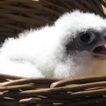 Birdcam.it, inanellata la falchetta Stella