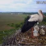 Webcam su un nido di cicogne bianche in Ungheria (Szugy)