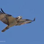 Nati tre falchi pescatori nella riserva Diaccia Botrona