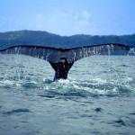 Il Giappone riapre la caccia alle balene, illegittima per l'Aja