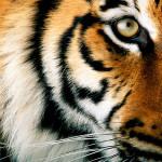 In un secolo tigri diminuite del 97%, è rischio estinzione