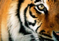 tigre dettaglio
