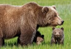 orsa cuccioli orso