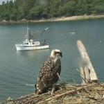 Webcam su un nido di falchi pescatori ad Hog Island (Usa)