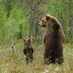 Incontri ravvicinati con orsi. I consigli dei forestali