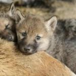 Sette cuccioli di lupo nati sulle Alpi Orientali