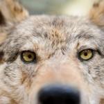 I lupi nel mirino del sindaco di Verona Tosi (Lega Nord)